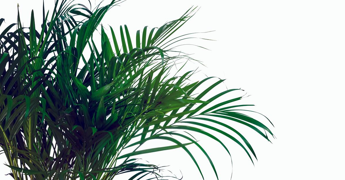 Areca Palms - Houseplants