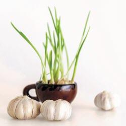 Garlic250x250.jpg
