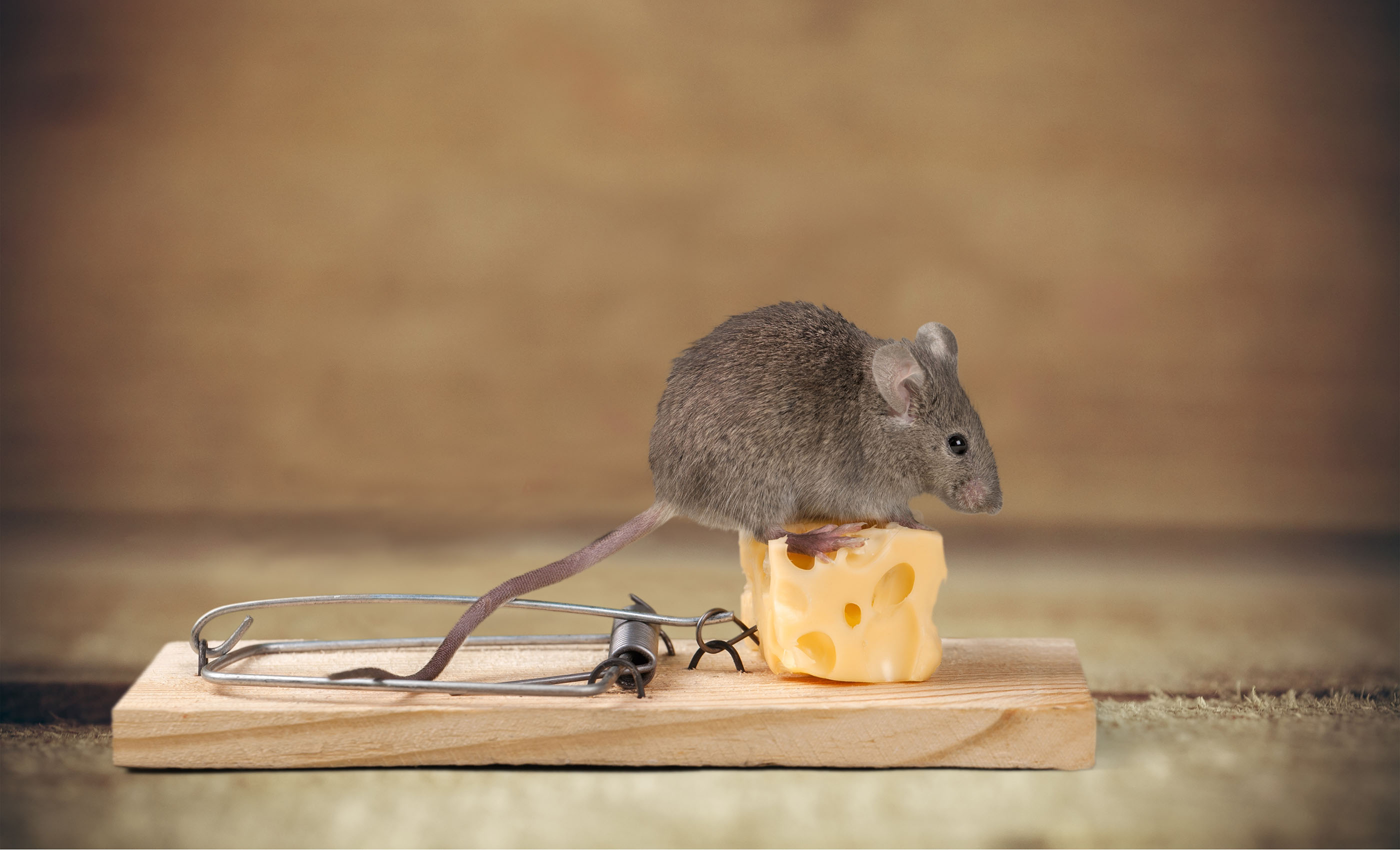 A mouse sits on top of a mouse trap, covered by ORHP's pest control home warranty coverage.