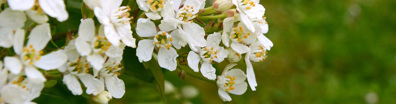 Idaho state flower