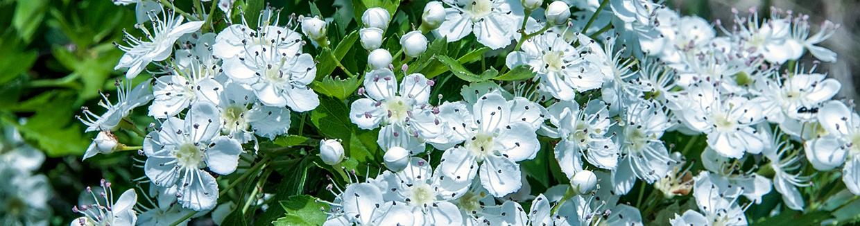 Missouri state flower